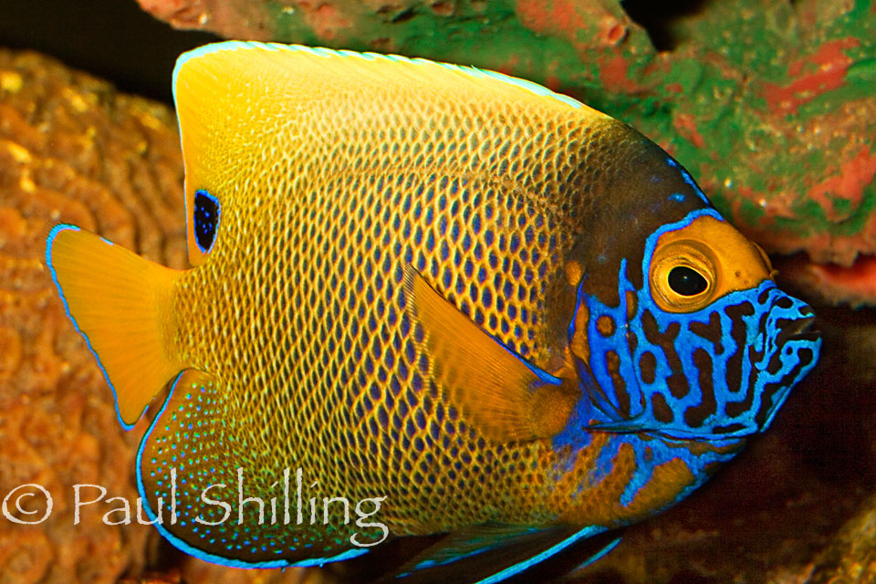 Angel-Fish.jpg