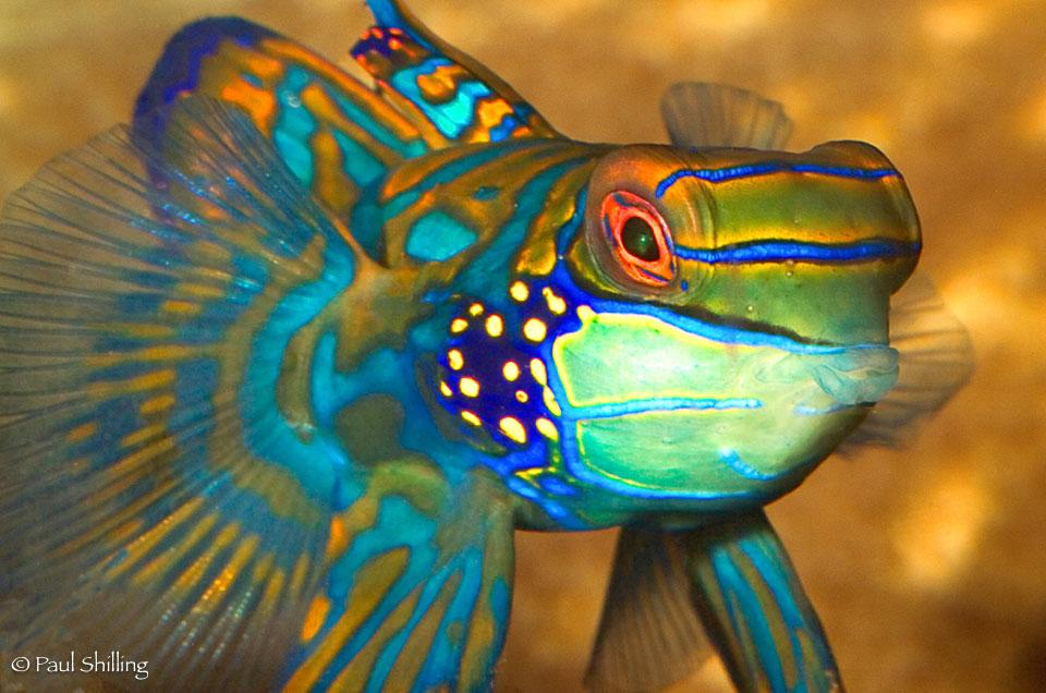 Mandarin-Fish.jpg