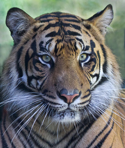 Tiger_Portrait.jpg