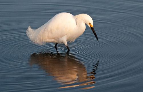 Early-Morning-Egret.jpg