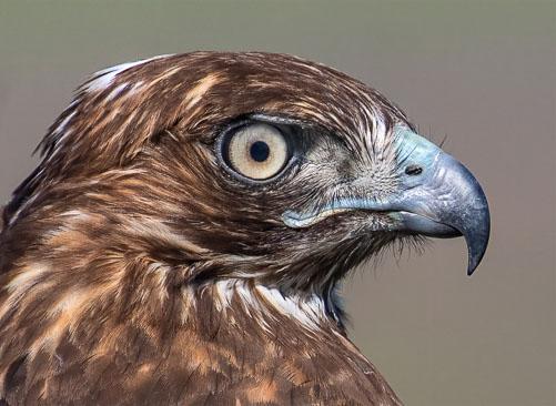 HawkPortrait.jpg