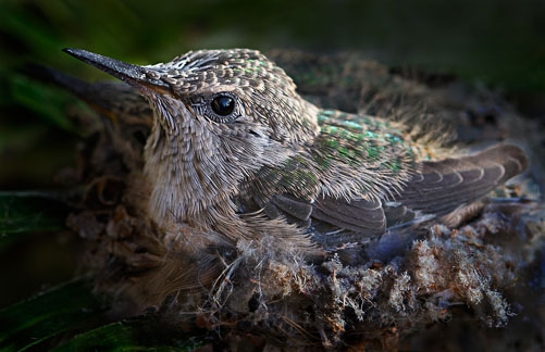 HummingbirdFledging.jpg