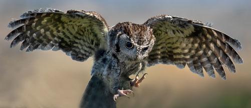 OwlLanding.jpg
