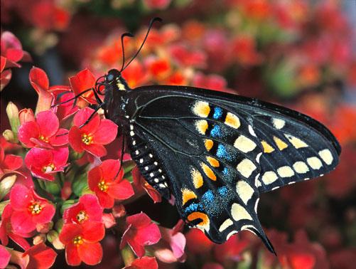 Swallowtail_butterfly-L.jpg